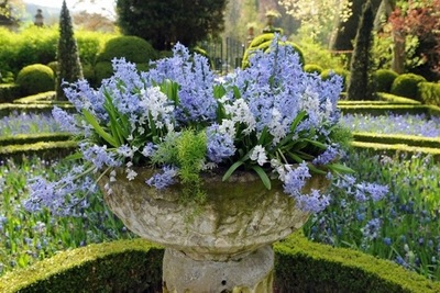 Traditional blue garden, Blue spring flowers, grape hyacinths, Muscari, Scilla siberica, Anemone blanda, Iris reticulata, alliums, Grecian Windflowers