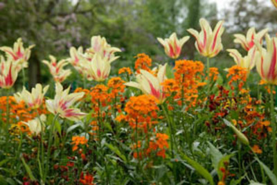 Spring Combination Ideas, Bulb Combinations, Plant Combinations, Flowerbeds Ideas, Spring Borders, Tulip Mona Lisa, Tulipa Mona Lisa, Wallflowers, Erysimum, Cheiranthus
