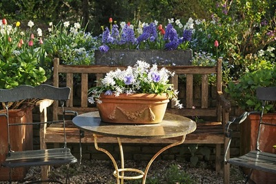 Bulbs in pot, Narcissus in pot, Hyacinth in pot