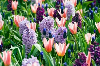 Spring Borders, Bulb Combinations, Perennial Combinations, Tulip Heart's Delight, Hyacinth Woodstock, Hyacinth Splendid Cornelia, Muscari Latifolium, Spring Border Idea, Early spring border