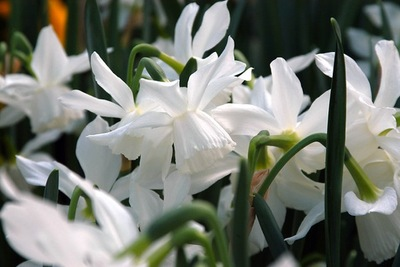Narcissus Ice Wings, Daffodil ice Wings, Contempory white garden, white spring flowers, Muscari botryoides, Anemone blanda white splendour, narcissus Thalia, White Tulips, White daffodils, White narcissus, White anemones, White muscari