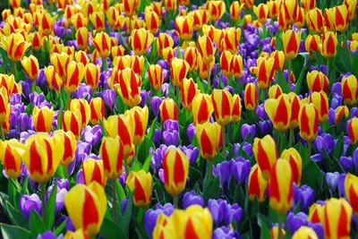 crocus remembrance,Tulip 'Stresa', spring combination