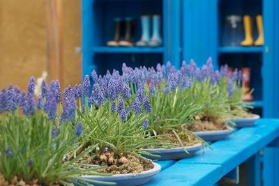 Muscari Armeniacum, Grape Hyacinth