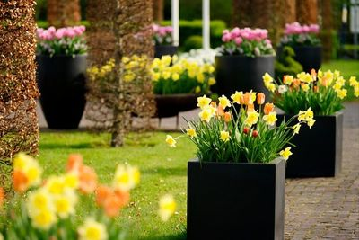 Narcissus'Carlton',Tulipa 'Orange Emperor', Daffodil Carlton, Tulip Orange Emperor