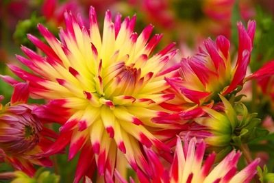 Dahlia 'Tahiti Sunrise', 'Tahiti Sunrise' Dahlia, Semi-Cactus Dahlias, Cactus Dahlias, Bicolor Dahlia Flowers, Red Dahlias, Yellow Dahlias,Dahlia Tubers, Dahlia Bulbs, Dahlia Flower, Dahlia Flowers, summer bulbs