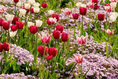 Spring Combination Ideas, Bulb Combinations, Plant Combinations, Flowerbeds Ideas, Spring Borders, Phlox subulata Emerald Cushion,Tulip Don Quichotte, Tulip Ballade, Tulip Shirley, Tulipa Don Quichotte, Tulipa Ballade, Tulipa Shirley, Lily Flower