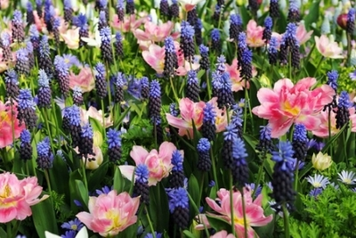 Bulb Mix ideas, Mid Spring Bulb Combinations, Early Spring Bulb Combinations, Anemone blanda 'Blue Shades,Muscari latifolium,Tulip 'Peach Blossom', Pink and blue bulb mix