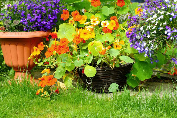 Nasturtium, Tropaeolum, Nasturtium, Nasturtiums, Common Nasturtium, Indian Cress, Garden Nasturtium, Orange Flowers, Red Flowers, Yellow Flowers, Annuals, Annual plant, deer resistant flowers