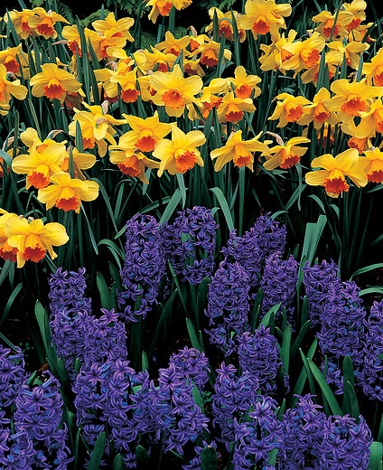 Daffodil fortissimo, Hyacinth Blue Jacket, Hyacinth 'Blue Jacket', Dutch Hyacinth, Hyacinthus orientalis, Common Hyacinth, Spring Bulbs, Spring Flowers, blue hyacinth, blue flowers