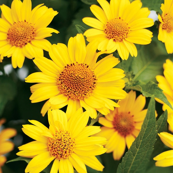 Heliopsis Tuscan Sun, Heliopsis  Helianthoides Tuscan Sun information, False Sunflower information, Sunflower Heliopsis information, Oxeye Sunflower information