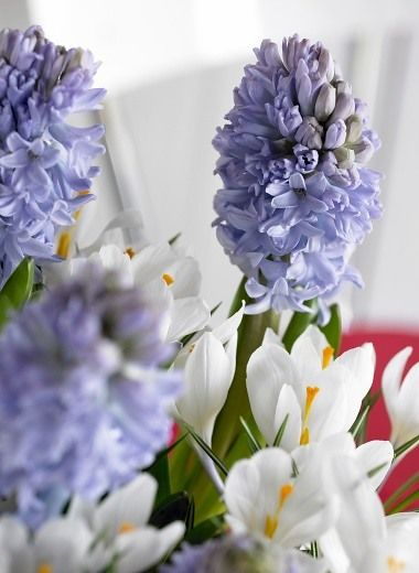 Hyacinthus orientalis 'Blue Star', Hyacinth ''Blue Star', Dutch Hyacinth, Hyacinthus orientalis, Common Hyacinth, Spring Bulbs, Spring Flowers, blue hyacinth, blue flower