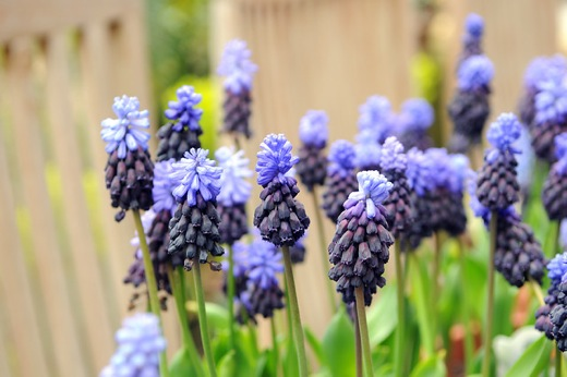 Muscari latifolium, Grape Hyacinth, Broad-leaved Grape Hyacinth, Spring Bulbs, Spring Flowers, Blue Muscari, Mid spring bulbs, Late spring bulbs