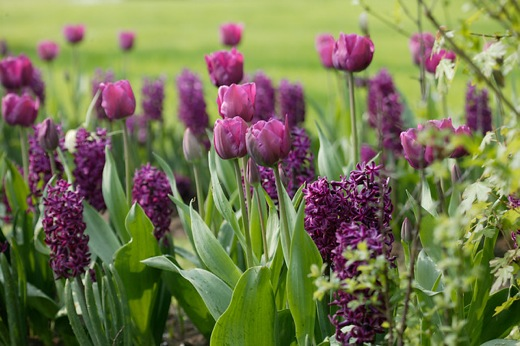Hyacinthus orientalis 'Woodstock', Hyacinth 'Woodstock', Dutch Hyacinth, Hyacinthus orientalis, Common Hyacinth, Spring Bulbs, Spring Flowers, purple hyacinth, hyacinth,early spring bloomer, mid spring bloomer,Woodstock