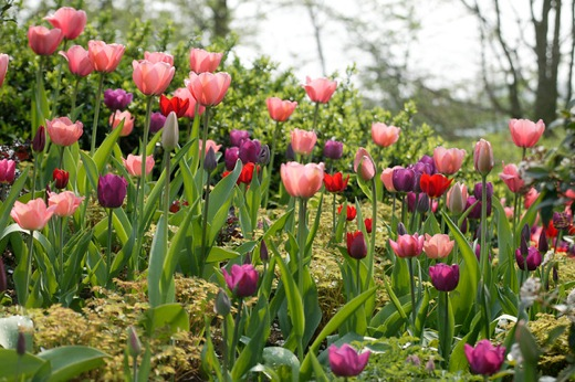 spring garden, tulips combinations, daffodils combinations, spring bulbs combinations, spring border ideas