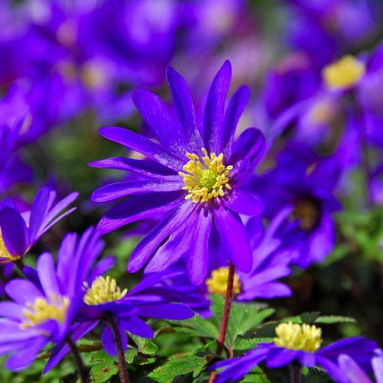 Anemone blanda 'Blue Shades', Grecian Windflowers