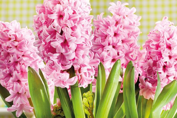 Hyacinthus orientalis 'Pink Surprise', Hyacinth 'Pink Surprise', Dutch Hyacinth, Hyacinthus orientalis, Common Hyacinth, Spring Bulbs, Spring Flowers, pink hyacinth,early spring bloomer, mid spring bloo