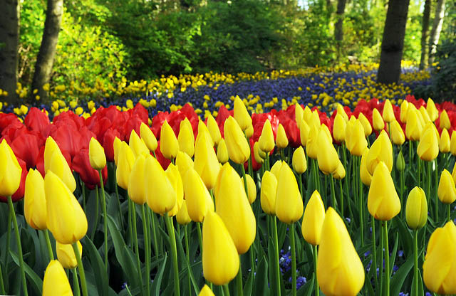 Tulipa 'Big Smile', Tulip ''Big Smile', Single Late Tulip 'Big Smile', Single Late Tulips, Spring Bulbs, Spring Flowers, Yellow Tulip, Single Late Tulip