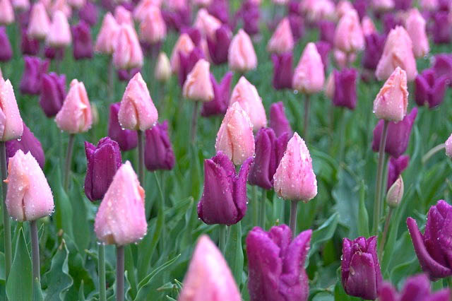 Tulip 'Apricot Beauty', Tulipa 'Apricot Beauty, Single Early Tulip 'Apricot Beauty', Single Early Tulips, Spring Bulbs, Spring Flowers, Apricot Tulip