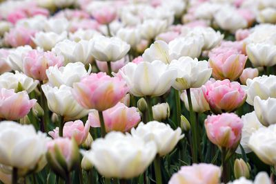 Spring Combination Ideas, Bulb Combinations, Plant Combinations, Flowerbeds Ideas, Spring Borders, Tulip Mount Tacoma, Tulip Angelique, Tulip Finola, Tulipa Mount Tacoma, Tulipa Angelique