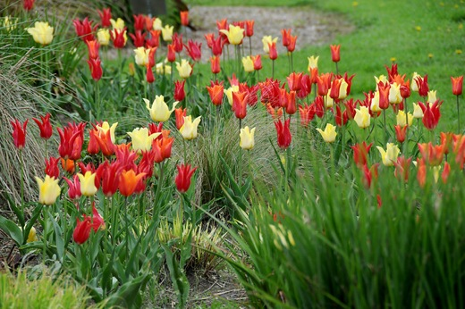 Tulipa 'Aladdin',Tulipa 'Ballerina',Tulipa 'West Point'