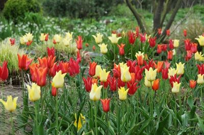 Spring Combination Ideas, Bulb Combinations, Plant Combinations, Flowerbeds Ideas, Spring Borders, Tulip West Point, Tulip Ballerina, Tulip Aladdin,Tulipa West Point, Tulipa Ballerina, Tulipa Aladdin,Tulipe West Point, Tulipe Ballerina, Tulipe Aladdin
