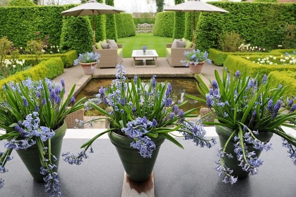 Contemporary blue garden, Blue spring flowers, grape hyacinths, Muscari, Scilla siberica, Anemone blanda, Iris reticulata, alliums, Grecian Windflowers