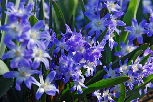 Chionodoxa Forbesii Blue Giant, Glory of the Snow Blue Giant, bulbs that naturalize, perennial bulbs