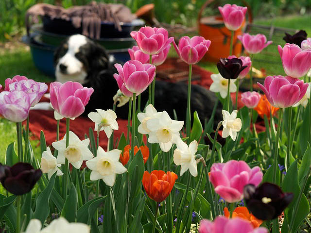 Tulipa 'Light And Dreamy', Tulip 'Light And Dreamy', Darwin Hybrid Tulip 'Light And Dreamy', Darwin Hybrid Tulips, Spring Bulbs, Spring Flowers, Pink Tulip