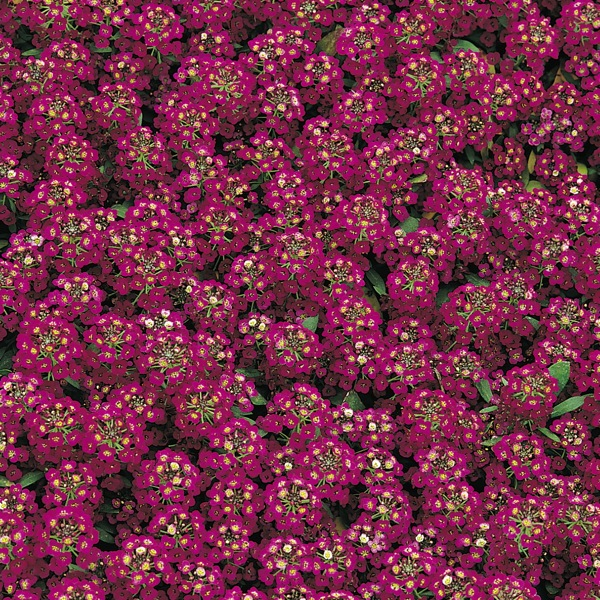 Alyssum Easter Bonnet, Lobularia Easter Bonnet, Fragrant plants, heat tolerant plants