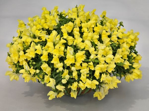Antirrhinum Majus, Snapdragon 'Candy Showers', Snapdragon, Bedding plants, Tender perennial, snapdragon Sonnet, Snapdragon Liberty