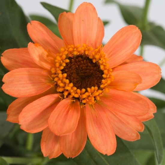 Zinnia Profusion Apricot,Zinnia Profusion Series, Zinnia Elegans 'Profusion, Zinnia angustifolia 'Profusion', Zinnia x hybrida 'Profusion', Drought tolerant plants, heat tolerant plants, Humidity tolerant plants, Low maintenance plants