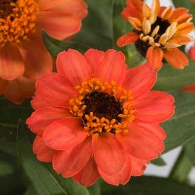 Zinnia Profusion DeepApricot,Zinnia Profusion Series, Zinnia Elegans 'Profusion, Zinnia angustifolia 'Profusion', Zinnia x hybrida 'Profusion', Drought tolerant plants, heat tolerant plants, Humidity tolerant plants, Low maintenance plants