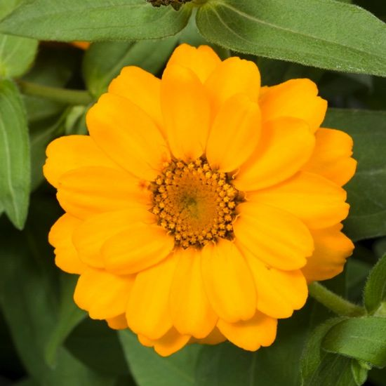 Zinnia Profusion Double Golden,Zinnia Profusion Series, Zinnia Elegans 'Profusion, Zinnia angustifolia 'Profusion', Zinnia x hybrida 'Profusion', Drought tolerant plants, heat tolerant plants, Humidity tolerant plants, Low maintenance plants