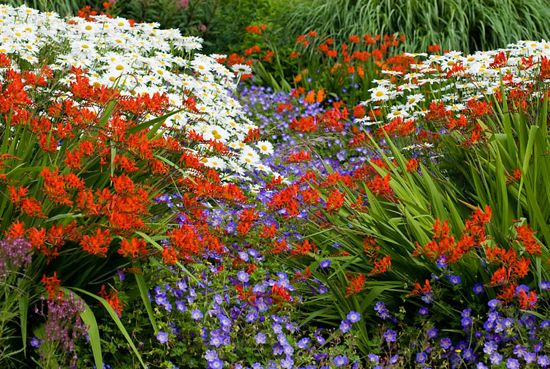 Blooms of bressingham,Bressingham Gardens,Crocosmia Lucifer and Leucanthemum x superbum Manhattan,The Summer Garden,Norfolk,Perennial combination with Geranium Rozanne