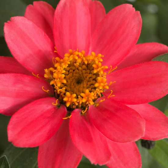 Zinnia Profusion Coral Pink,Zinnia Profusion Series, Zinnia Elegans 'Profusion, Zinnia angustifolia 'Profusion', Zinnia x hybrida 'Profusion', Drought tolerant plants, heat tolerant plants, Humidity tolerant plants, Low maintenance plants