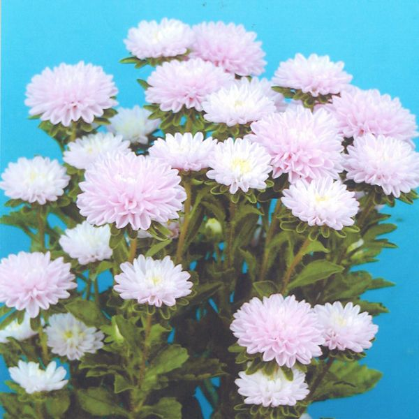 Callistephus Chinensis, China Aster, Aster Chinensis, Aster Pompon, Aster Paeony, Annuals, Annual plants, Annual flowers