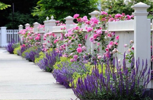 Garden Ideas, Landscaping ideas, Hedges ideas, Fence ideas, Plant combination ideas, Borders ideas, Perennial combinations, David austin Rose Gertrude Jekyll, Salvia sylvestris, Salvia Mainacht, Salvia May Night, alchemilla mollis, Lady's mantle, Nepeta R