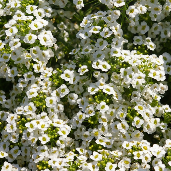 Alyssum Snow Princess, Lobularia Snow Princess, Fragrant plants, heat tolerant plants