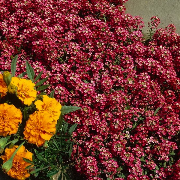 Alyssum Wonderland, Lobularia Wonderland, Fragrant plants, heat tolerant plants