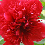 Paeonia 'Red Charm' , Peony 'Red Charm', 'Red Charm Peony, Red Peonies, Red Flowers, Fragrant Peonies