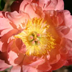 Paeonia 'Coral Sunset', Peony 'Coral Sunset', 'Coral Sunset' Peony, Pink Flowers, Pink Peonies, Coral Flowers, Coral Peonies