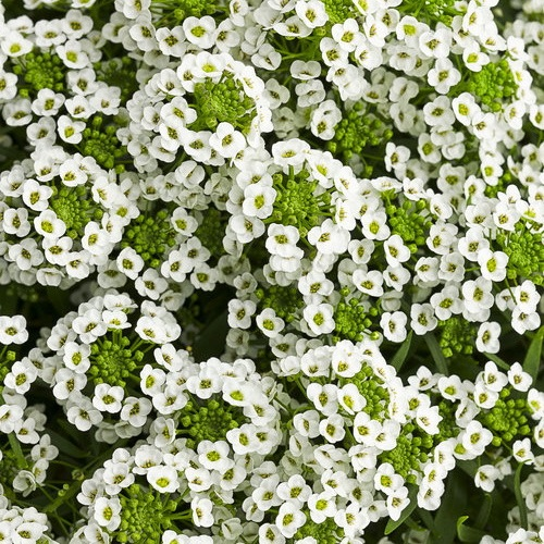 Alyssum Snow Crystal, Lobularia Snow Crystal, Fragrant plants, heat tolerant plants
