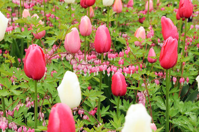 Tulip 'Renown', Single Late Tulip 'Renown', Single Late Tulips, Spring Bulbs, Spring Flowers, Pink Tulip
