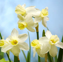 Daffodils classification, Daffodils types, Daffodils Groups, Narcissus classification, Narcissus types, Narcissus Groups, Narcissus Divisions, Daffodils Divisions