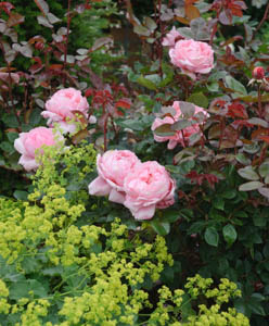 Underplanting roses, Best David Austin Roses, Best roses for borders, Rose borders, Shrub Roses, Rose companion plants, companion planting