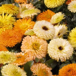 Calendula , Pot Marigold, English Marigold, Poet's Marigold, Orange Flowers, Red Flowers, Yellow Flowers, Calendula officinalis , Annuals, Annual plant, deer resistant flowers