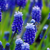 Muscari Armeniacum, Grape Hyacinth, Bulbs Design, Spring Bulbs, Summer Bulbs, Fall Fulbs, Landscaping Design, Garden Ideas