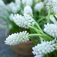 Muscari aucheri White Magic, Grape hyacinth White Magic, Mid spring white flower, mid spring buld, late spring white flower, late spring bulb