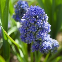 Muscari Blue spike, Grape Hyacinth Blue Spike, Fragrant Muscari, Fragrant Grape Hyacinth, Double Muscari