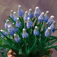 Muscari Aucheri, Muscari Ocean Magic, blue spring bulbs, Blue early spring bulbs, blue mid spring bulbs